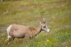 Young big horn sheep Stock Photography