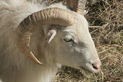 Young Bighorn Ram Stock Images