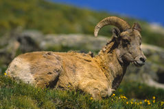 Young Bighorn Ram Bedded Royalty Free Stock Images