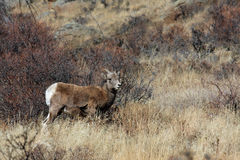 Young Bighorn sheep Stock Image