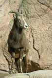 Young Bighorn Sheep Stock Photos