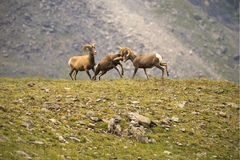 Young Bighorn Sheep butting heads on a mountainside in Colorado Stock Photos