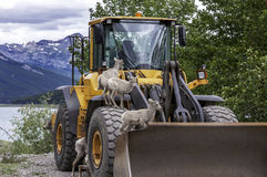 Young Bighorn Sheep Lambs Playing. Lambs playing on front end loader. Jasper National Park Royalty Free Stock Photography