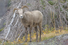 Young Bighorn Sheep in the Mountain Stock Photos