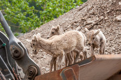 Young Bighorn Sheep Playing. Playing on the bucket of a frontend loader young Bighorn sheep are having a great time Royalty Free Stock Photo