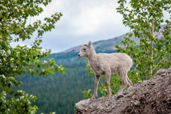Young Bighorn Sheep Playing. Young Bighorn sheep was having a great time playing on this gravel pile Royalty Free Stock Images
