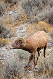 Young Bighorn Sheep Ram Stock Photo