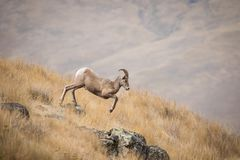Young Bighorn Sheep Ram Jumping off of a Rock stock photography