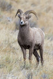 Young bighorn sheep ram preparing for rut in the grass and sageb Royalty Free Stock Photo