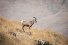 Young Bighorn Sheep Ram on a Rock stock photo