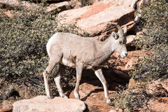 Young Bighorn Sheep Royalty Free Stock Photo