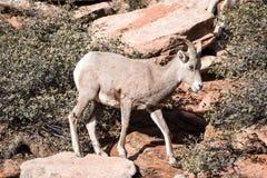 Young Bighorn Sheep Royalty Free Stock Photo