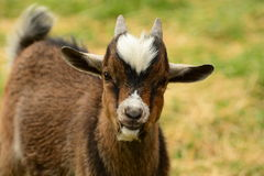 Young billy goat Stock Photography