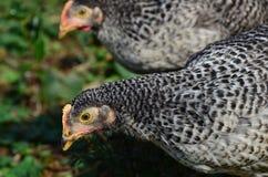 Young Bio Chicken, outdoor. Young Bio Chicken, feeding outdoor royalty free stock photo