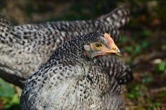 Young Bio Chicken, outdoor. Young Bio Chicken, feeding outdoor Stock Photos