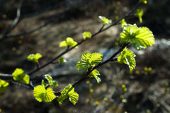 Young birch. Young new birch at spring stock images