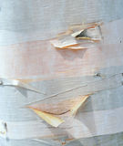 Young Birch. Tree, smooth bark peeling, pink wood wood Stock Image