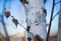 Young birch against the background of brightly blue sky in the early frosty spring stock images