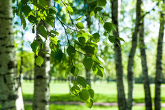 Young birch branches in the sunlight . Spring green background. Stock Photos