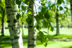 Young birch branches in the sunlight . Spring green background. Royalty Free Stock Photos