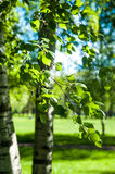 Young birch branches in the sunlight . Spring green background. Royalty Free Stock Photography