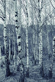 Young birch forest on spring Stock Photo