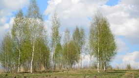 Young birch grove in early spring. Young birch grove in an early spring stock video
