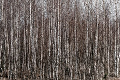 Young birch grove Royalty Free Stock Photo