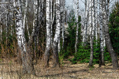 Young birch grove Stock Photo