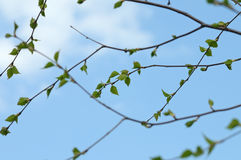 Young birch leaves Stock Photos
