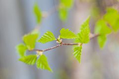 Young birch leaves Royalty Free Stock Photography