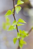 Young birch leaves Stock Images