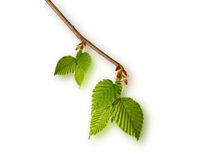 Young birch leaves isolated Stock Photos