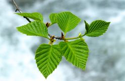 Young birch leaves taken in sun backlit royalty free stock photo