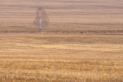 Young birch without leaves on a yellow field with dry grass, early spring on the field Royalty Free Stock Photo
