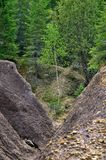Young birch in a ravine. Formed by erosion Royalty Free Stock Image