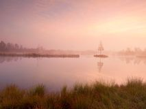 Young birch tree on island in middle of swamp lake. Purple morning  with peaceful water Royalty Free Stock Images