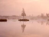 Young birch tree on island in middle of swamp lake. Purple morning  with peaceful water Royalty Free Stock Photos