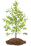 Young birch tree Stock Images