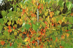 Young birch tree with red, yellow and green leaves. Bright Autum. N etude Stock Photos