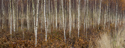 Young birch trees in autumn Royalty Free Stock Image
