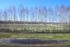 Young birch trees in a field in spring. Spring landscape young birch trees in a field with winter crops and melting snow on a sunny day Stock Photography