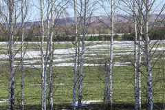 Young birch trees in a field in spring. Spring landscape young birch trees in a field with winter crops and melting snow on a sunny day Stock Photo