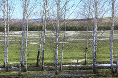 Young birch trees in a field in spring. Spring landscape young birch trees in a field with winter crops and melting snow on a sunny day Stock Image