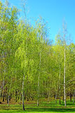 Young birch trees in the forest. In the early spring stock photo