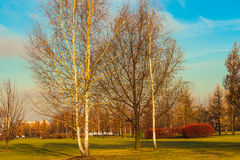 Young birch trees in late autumn in the park. Russia , photo is usable on picture post card, calendar, gardening for wallpaper Royalty Free Stock Photo