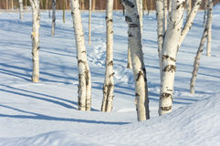 Young birch trees in the park Stock Photo