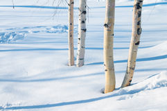 Young birch trees in the park Stock Image