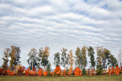 Young birch trees Stock Photo