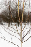 Young birch winter. Young birch without leaves on a background of snow in the winter Stock Photography